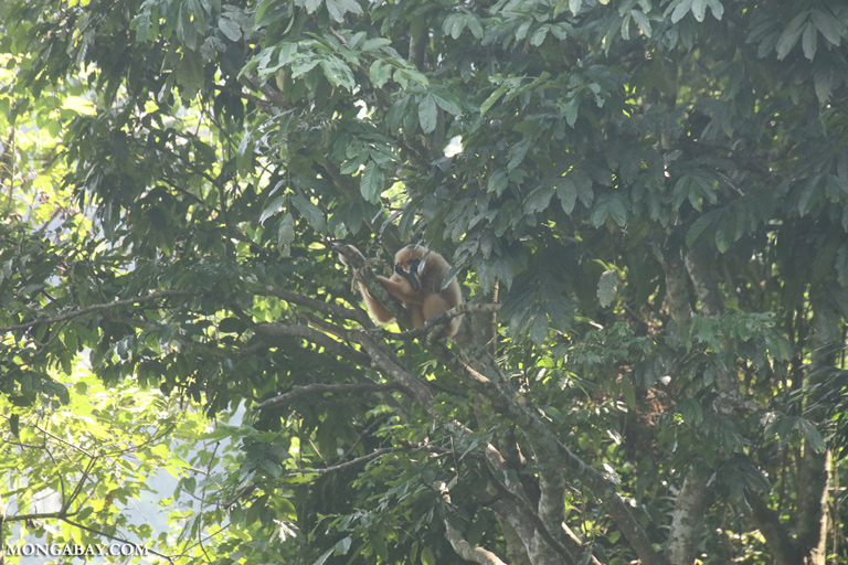 Gibbon in Vietnam