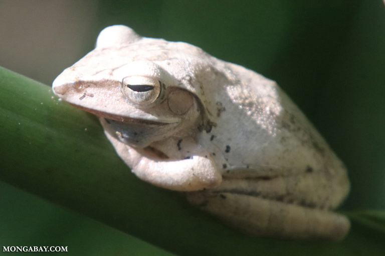 White tree frog in Vietnam