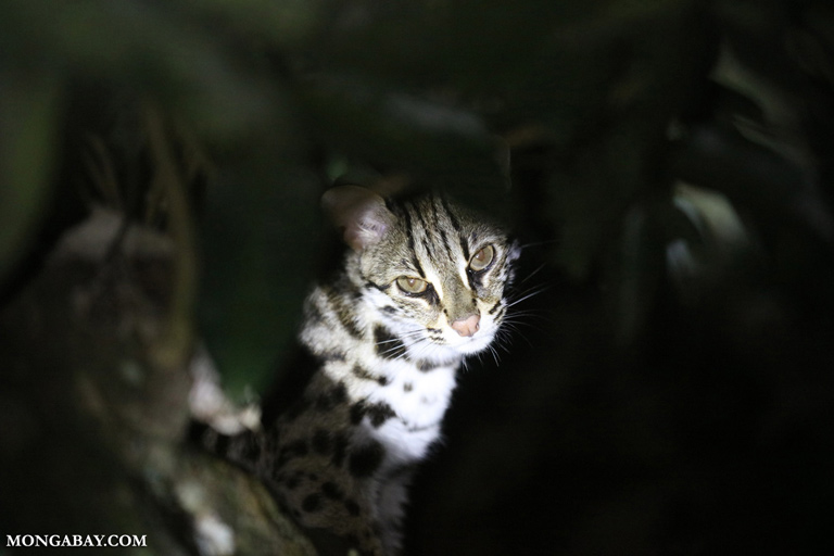 Leopard cat in Vietnam