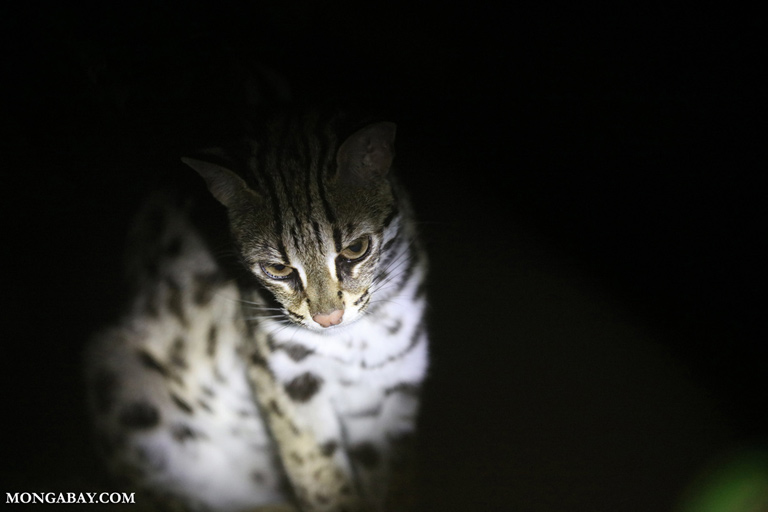 Leopard cat in Vietnam