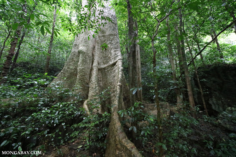 1000 year old tree' in Vietnam's Cuc Phuong