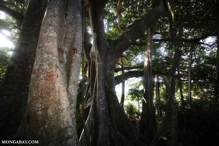 Son Tra banyan tree