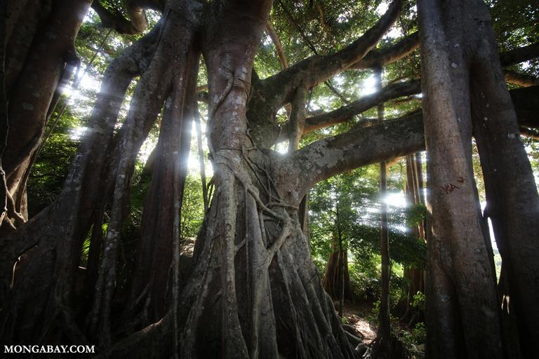 Great Banyan tree on Son Tra