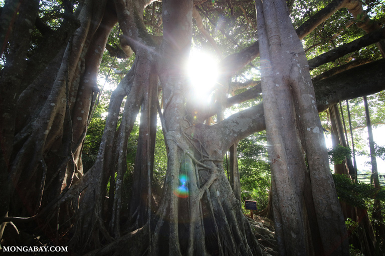 Great Banyan tree on Son Tra
