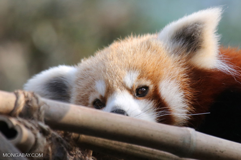 While they may look similar to indiscriminate raccoons, endangered red pandas (Ailurus fulgens) are specialists and eat mostly bamboo. Image by Rhett Butler/Mongabay.
