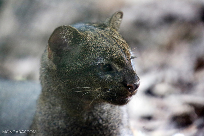Jaguarundi. Photo by Rhett A. Butler