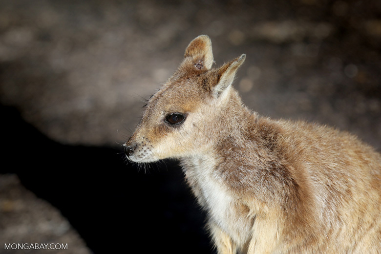 Rock wallaby (photo)