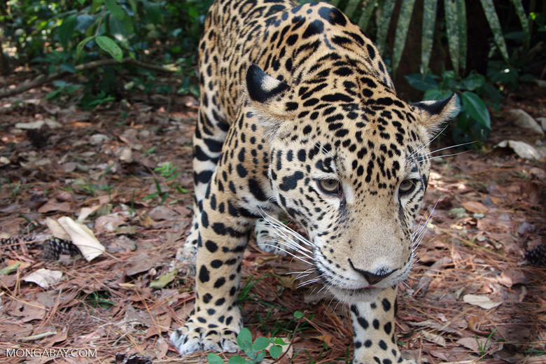 Jaguar (photo)