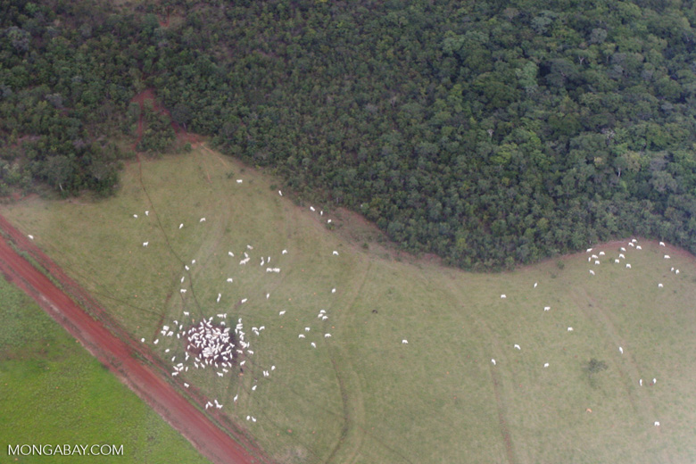 Cattle grazing in the Brazilian Amazon
