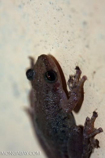Frog [brasil_136]