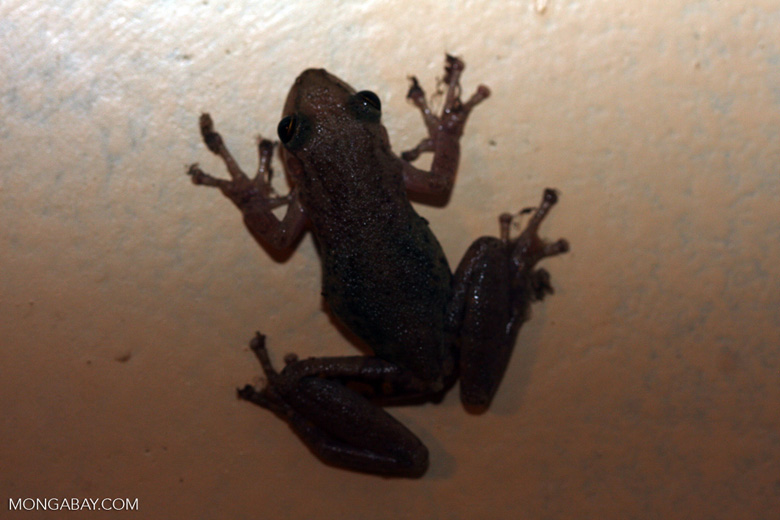 Frog [brasil_137]