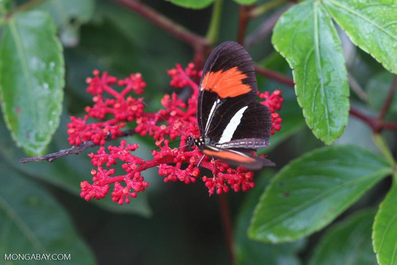 Postman butterfly, Heliconius erato or melpomene (red form) [brasil_142]