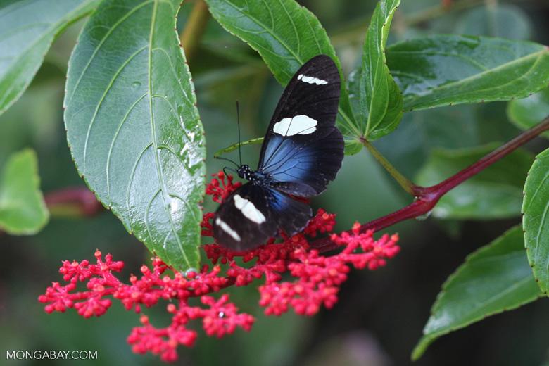 Postman butterfly, Heliconius erato or melpomene (blue form) [brasil_143]