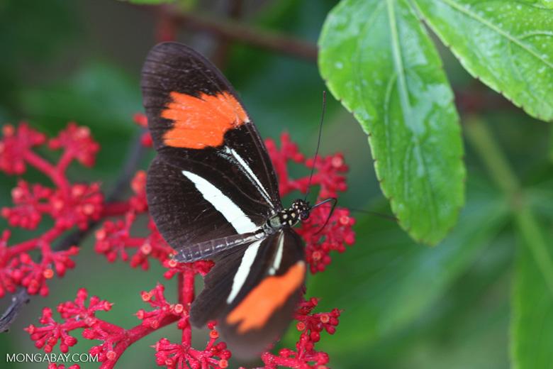 Postman butterfly, Heliconius erato or melpomene (red form) [brasil_144]