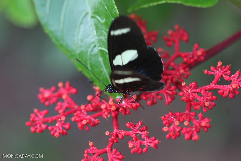 Postman butterfly, Heliconius erato or melpomene (blue form) [brasil_145]