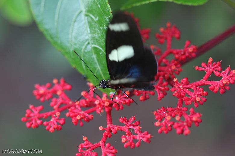 Postman butterfly, Heliconius erato or melpomene (blue form) [brasil_146]