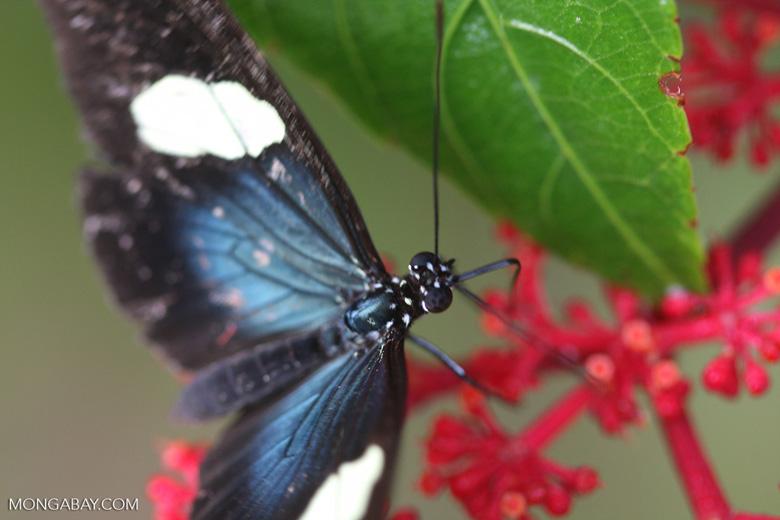 Postman butterfly, Heliconius erato or melpomene (blue form) [brasil_147]