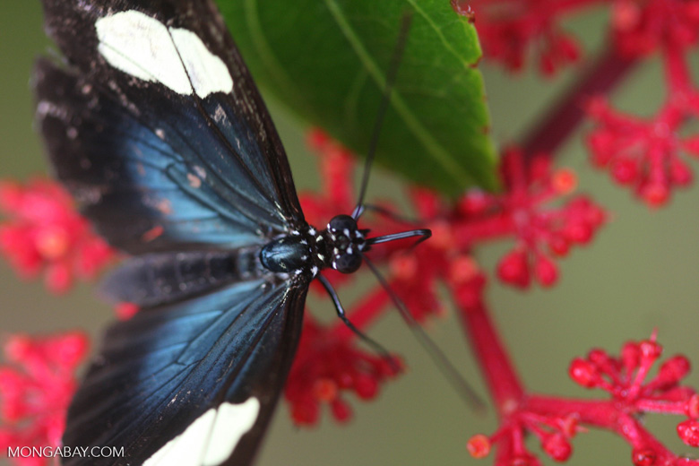 Postman butterfly, Heliconius erato or melpomene (blue form) [brasil_148]