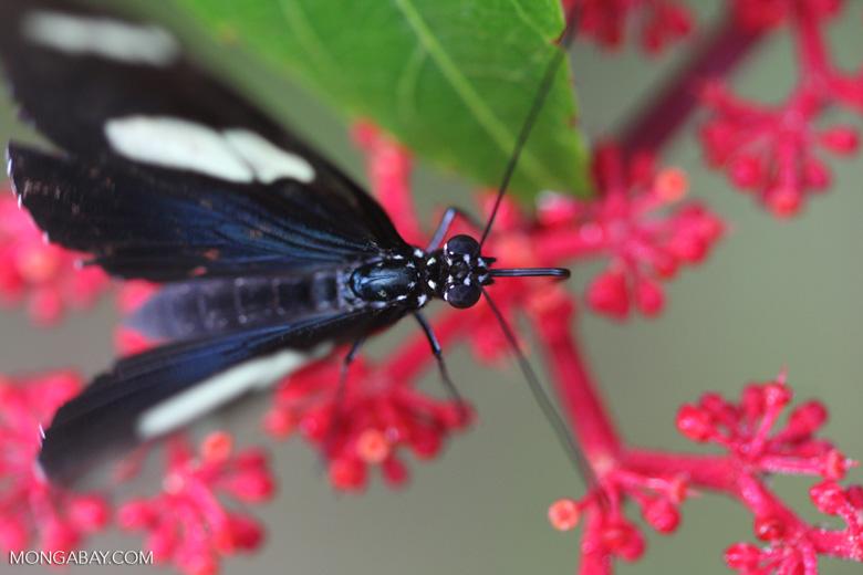 Postman butterfly, Heliconius erato or melpomene (blue form) [brasil_149]