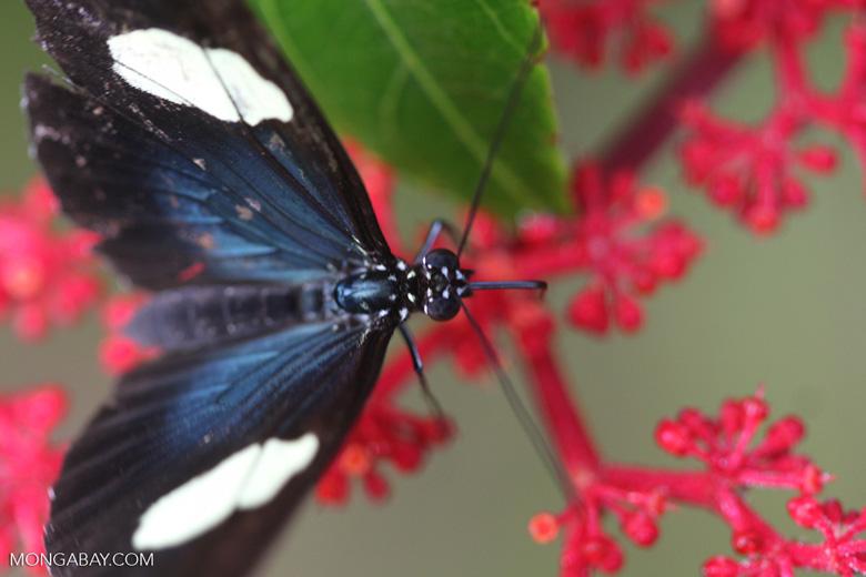 Postman butterfly, Heliconius erato or melpomene (blue form) [brasil_150]