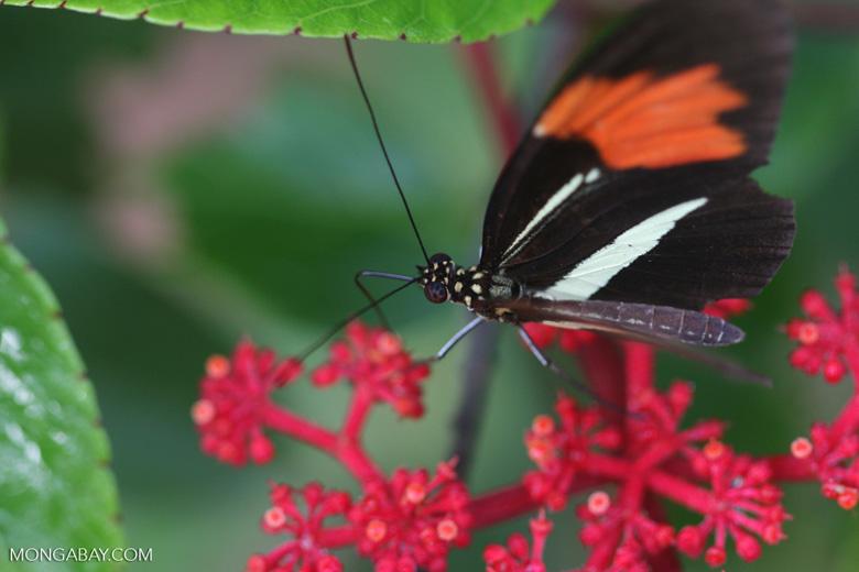 Postman butterfly, Heliconius erato or melpomene (red form) [brasil_152]