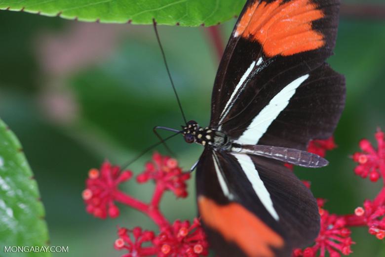 Postman butterfly, Heliconius erato or melpomene (red form) [brasil_153]