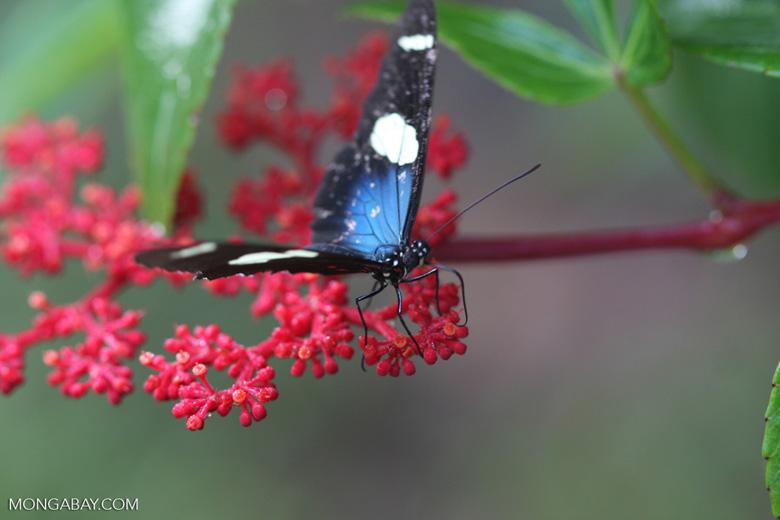Postman butterfly, Heliconius erato or melpomene (blue form) [brasil_154]