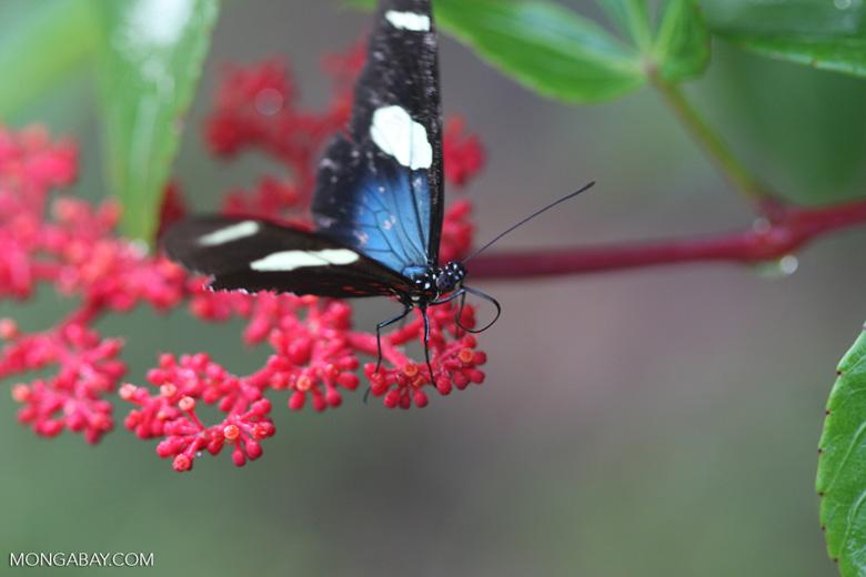 Postman butterfly, Heliconius erato or melpomene (blue form) [brasil_155]