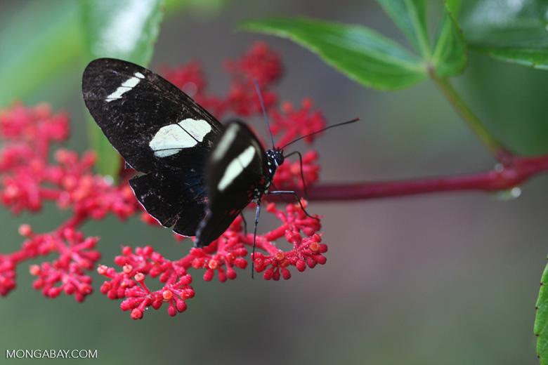 Postman butterfly, Heliconius erato or melpomene (blue form) [brasil_156]