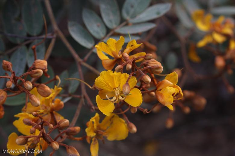 Golden flower blossoms