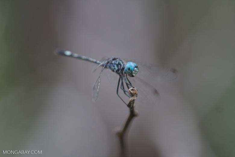Blue-eyed skimmer [family Libellulidae, Order Odonata (Dragonflies and Damselflies)] [brasil_167]