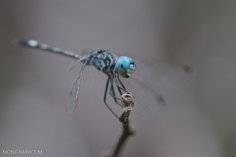 Blue-eyed skimmer [family Libellulidae, Order Odonata (Dragonflies and Damselflies)] [brasil_168]