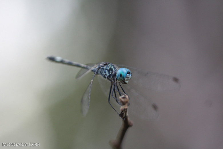 Blue-eyed skimmer [family Libellulidae, Order Odonata (Dragonflies and Damselflies)]