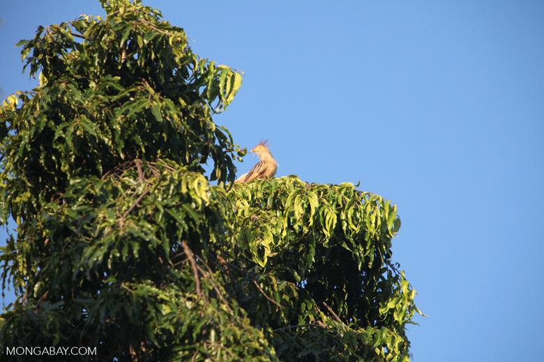Guira Cuckoo (Guira guira) [brazil_0656]