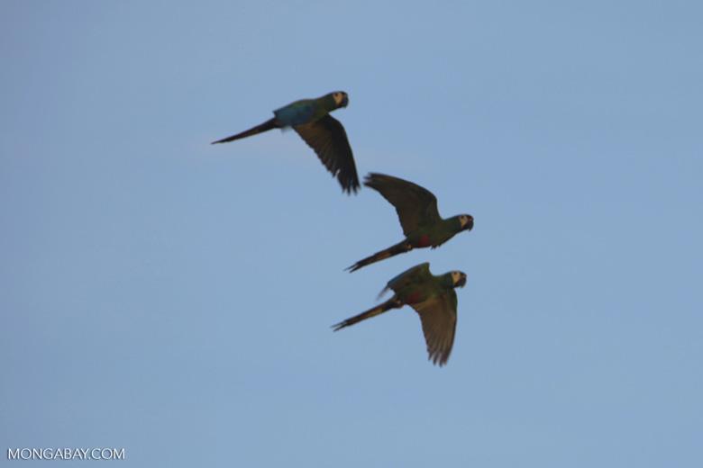 Chestnut-fronted Macaws (Ara severus) in flight [brazil_0663]