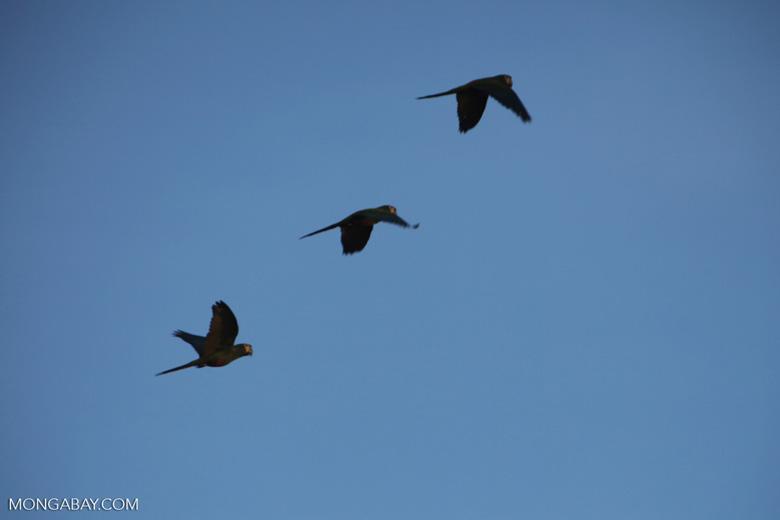 Chestnut-fronted Macaws (Ara severus) in flight [brazil_0668]