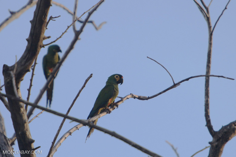 Chestnut-fronted Macaw (Ara severus) [brazil_0671]