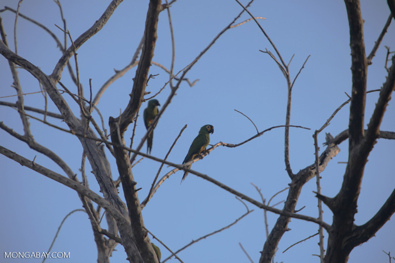 Severe Macaw (Ara severus)
