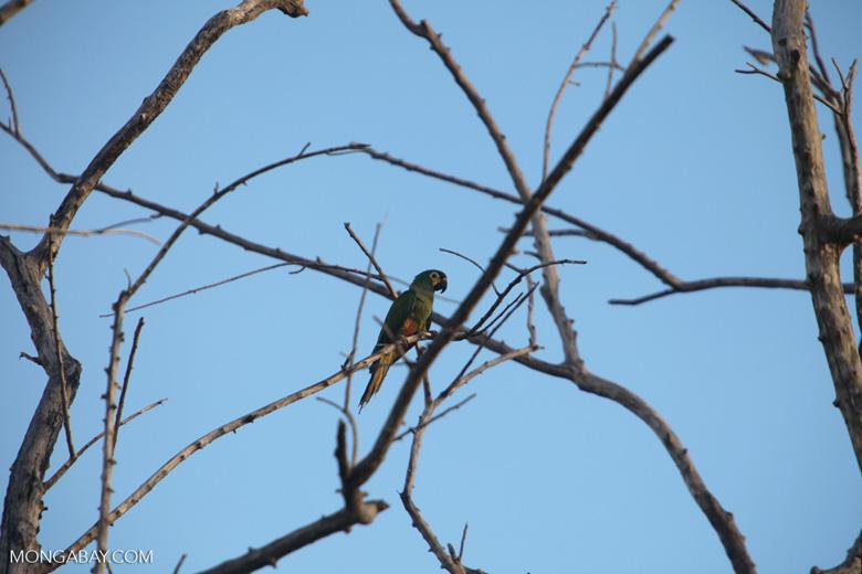 Chestnut-fronted Macaw (Ara severus) [brazil_0676]