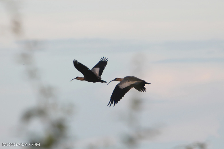 Waterbirds in flight [brazil_0679]