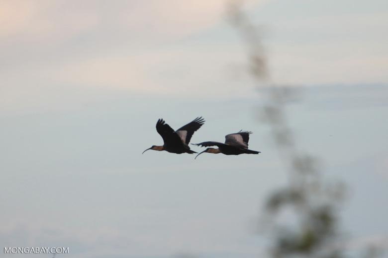 Waterbirds in flight