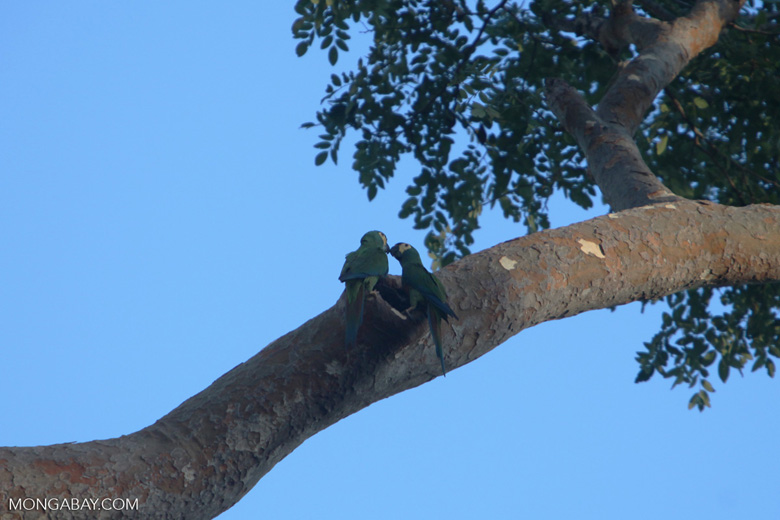 Pair of Chestnut-fronted Macaw (Ara severus) near a tree hollow [brazil_0691]