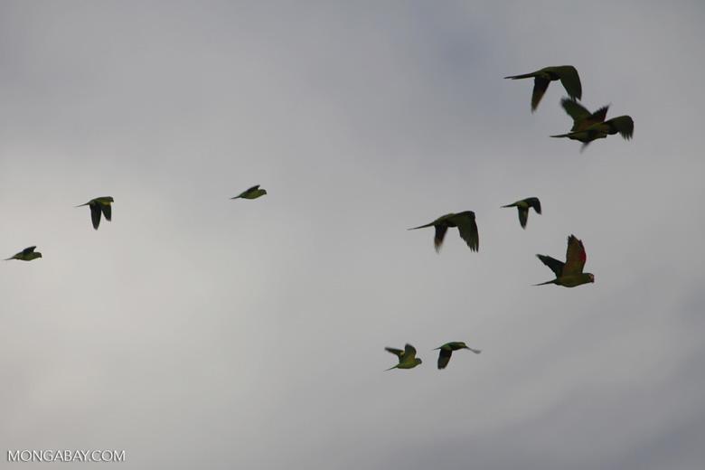 Chestnut-fronted Macaws (Ara severus) in flight [brazil_0697]