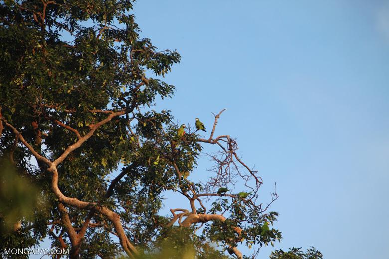 Chestnut-fronted Macaw (Ara severus) [brazil_0701]