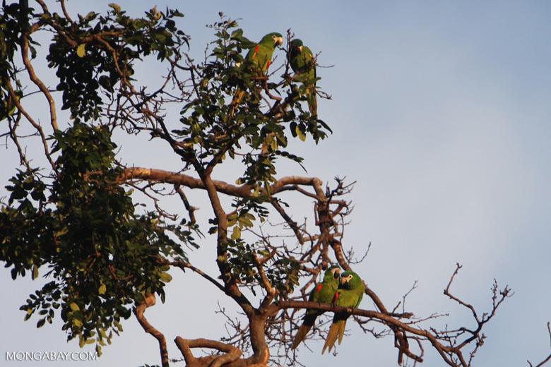 Chestnut-fronted Macaw (Ara severus) [brazil_0705]