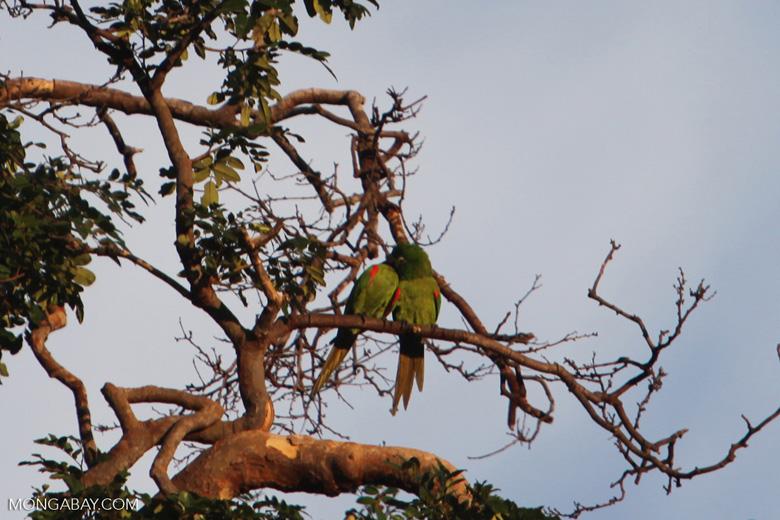 Chestnut-fronted Macaw (Ara severus) [brazil_0708]