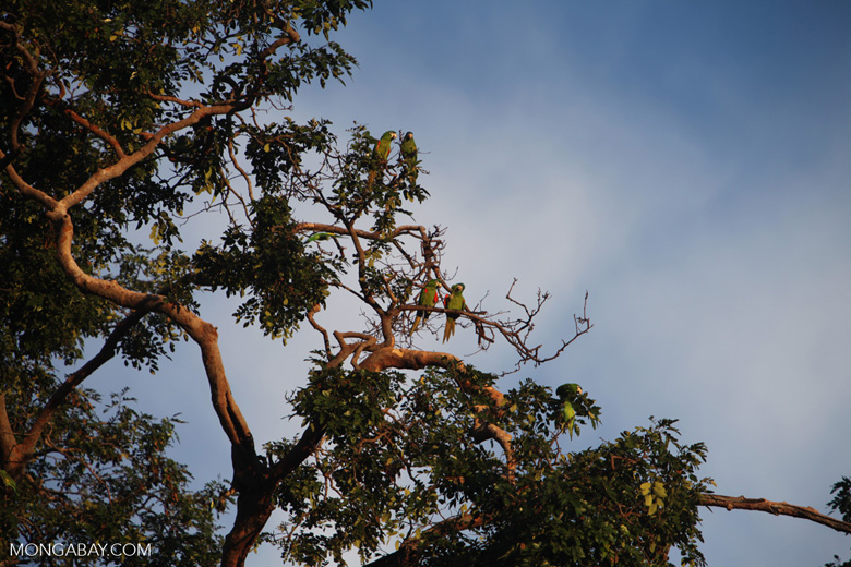 Chestnut-fronted Macaw (Ara severus) [brazil_0714]