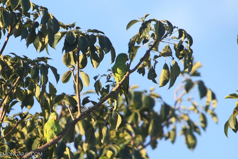 Yellow-chevroned Parakeets (Brotogeris chiriri) [brazil_0716]