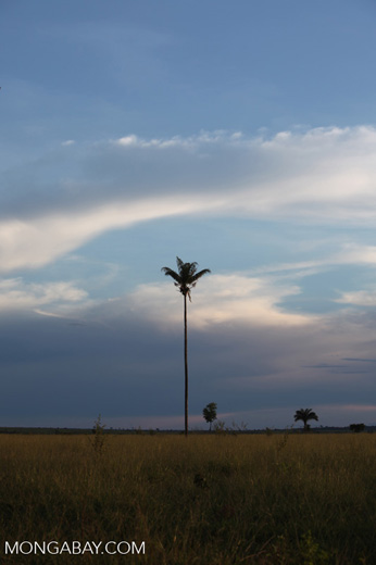 Palm trees on the savanna at sunset