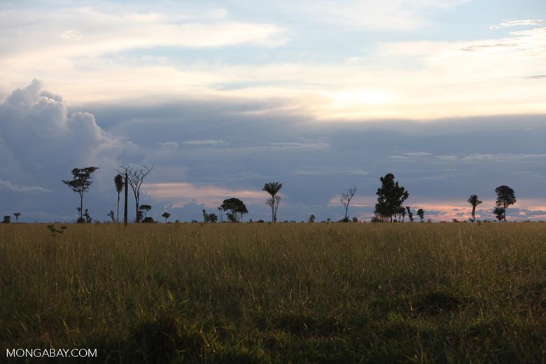 Palm trees on the savanna at sunset [brazil_0722]